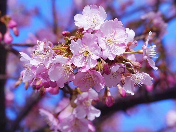 河津樱桃花, 三, 樱桃, misakiguchi, miurakaigan, 蓝蓝的天空, 美丽