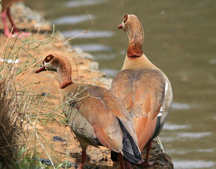 Єгипетський гусей, Гуси, коричневий, Buff, ставок, води