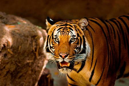 tiger, animal, nature, wild, wildlife, cat, zoo