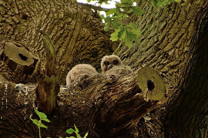 Huuhkaja, Pöllö, lintu, Euraasian Euroopan Huuhkaja, nuori Huuhkaja, uhunest, Metsä