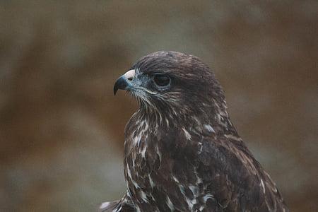 eläinten, lintuinfluenssan, nokka, lintu, Lähikuva, Eagle, uhanalaisten lajien