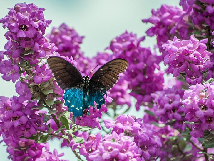 papallona, Sàlvia de Texas, Sàlvia, natura, porpra, flor, flor