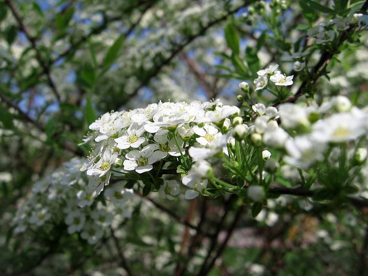 lilled, valge, filiaalid, põõsas, Aed, õitega lilled, loodus