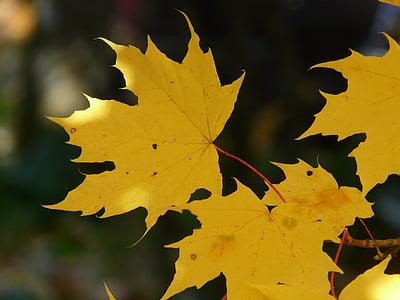 leaf, leaves, autumn, back light, colorful, color, maple