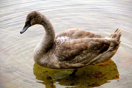 nature, animal, swan, young animal