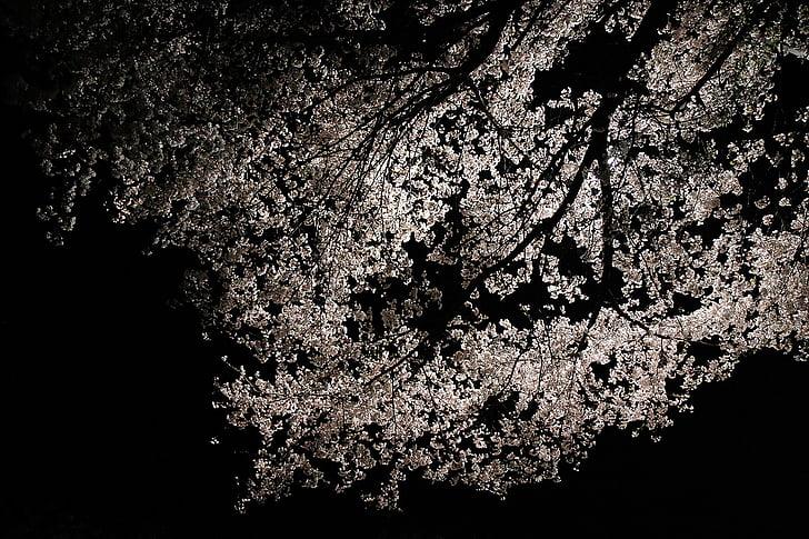 vyšnių žiedai, pavasarį, Pavasario gėlės, Sakura, žiedų, balta, gėlių medis
