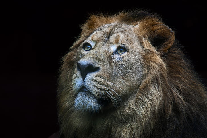 singa, liar, hewan, alam, Afrika, hewan liar, mangsa