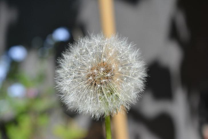 võilill, võililleseemned, loodus, terav lill, seemned, Sulgege, taim