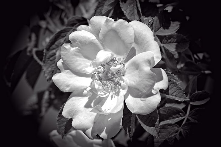 rose bloom, black, white, black and white, flower, blossom, bloom