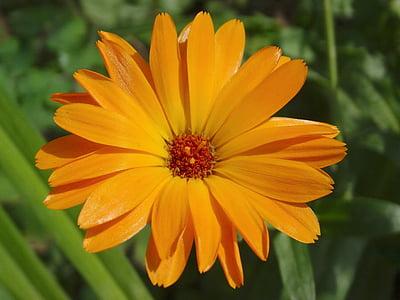 Medetkų, Vaistinė medetka, Sodininkystė, gėlės, žiedų, žydėti, oranžinė