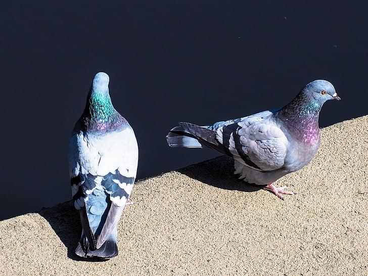 coloms, l'aigua, ocell, romàntic, animals, plomatge, fotografia de la natura