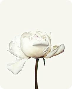 Peònia, flor, blanc, flor, flor, flora, natura