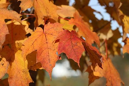 listi, padec, drevo, narave, oranžna, jeseni, listje
