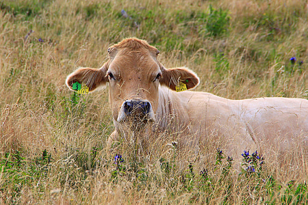 cow, cattle, agriculture, cows, beef, animal, farm