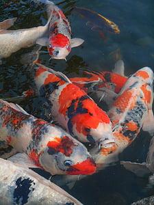 carpa de color, carpa, peix, peixos d'aquari, vermell i blanc, Japó, vius