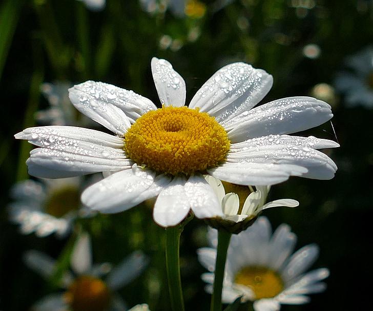ดอก, บาน, ดอกไม้, น้ำค้าง