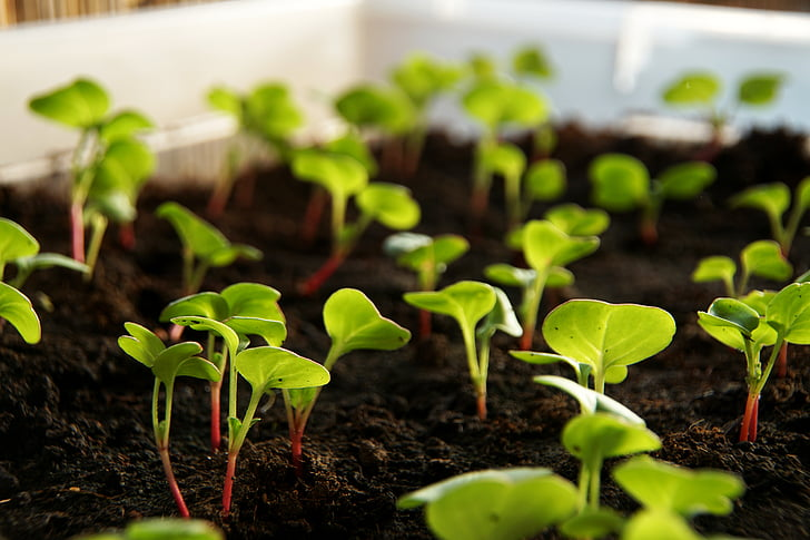 raves, planta, Scion, verdures, cultiu, aliments, fulles