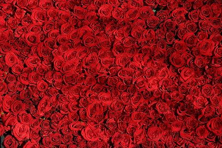 Róża, róże, kwiaty, czerwony, Valentine