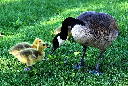 Äitienpäivä, fluffy, lapsoset, Poikaset, lintu, eläimet, Luonto