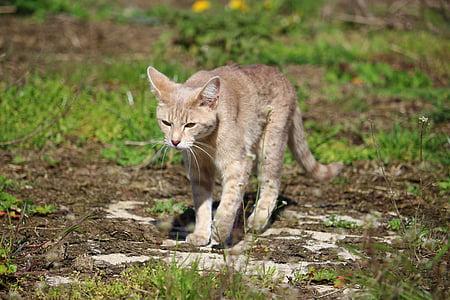 cat, kitten, breed cat, mackerel, young cat, domestic cat