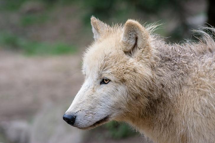 llop, animal, Predator, llops, natura, Parc, grup animal