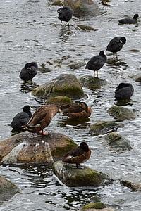 madarak, sirályok, kacsa, tenger, madár, természet, víz