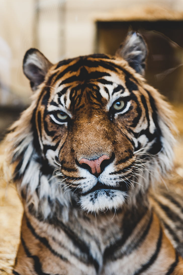 タイガー, 野生動物, 動物, 哺乳動物, 1 つの動物, 野生動物, ストライプ