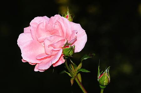 Rosa, flor, flor, flor rosa, Rosa, bellesa, natura