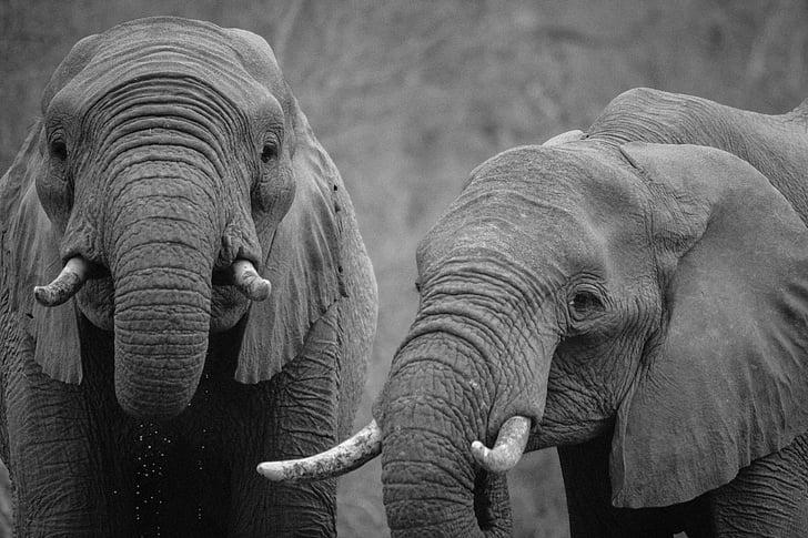 schwarz / weiß, Afrika, Tiere, Elefanten, Elefant, Tiere in freier Wildbahn, tierische wildlife