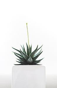 zebres, cactus, blanc, ceràmica, Gerro, plantes, natura