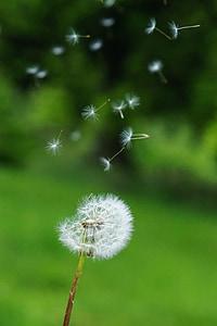 dent de Lleó, llavors, vent, llavors voladores