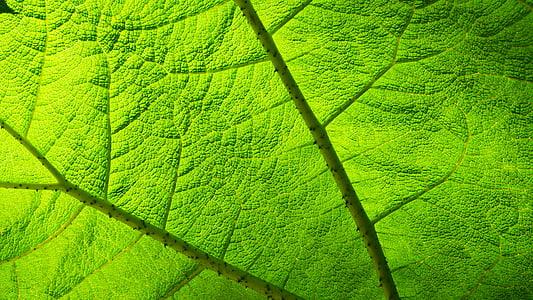 yaprak, şeffaflık, ışık, Yeşil, Groove, doğa, yeşil renk