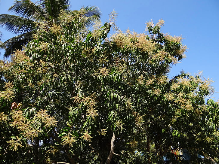 mango tree, plant, tree, palm tree, dharwad, india