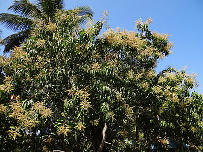 arbre de MANGO, planta, arbre, Palmera, Dharwar, l'Índia