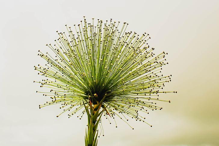 gėlė, chuveirinho, cerrado, visada gyvas, Flor daryti cerrado, paepalanthus bromelioides, studija kulka