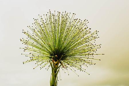 cvet, chuveirinho, cerrado, vedno živ, Flor do cerrado, paepalanthus bromelioides, Studio ustrelil