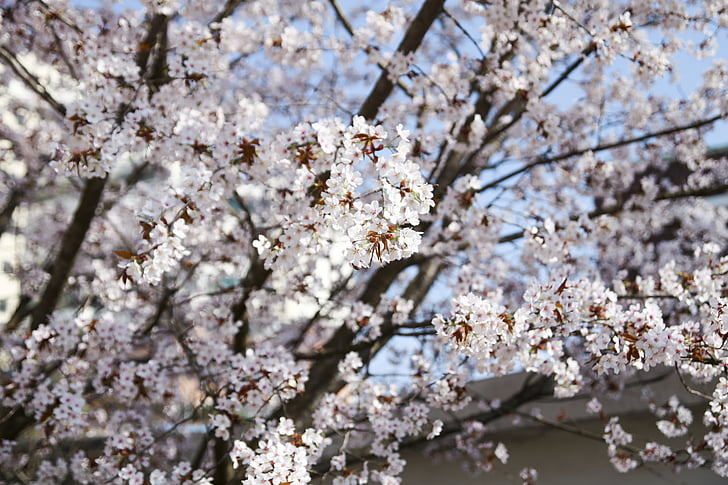 puit, kirsi õis, Sakura, lilled, kevadel, Kevadlilled, aprill