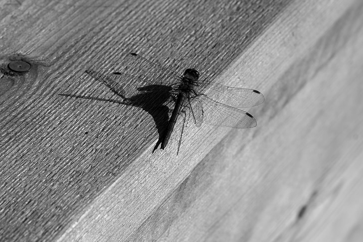 mosquit, blanc de negre, ombra, Banc, fusta