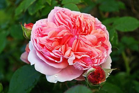 Rosa, Rosa perfumada, flor, flor, flor, jardí, bellesa