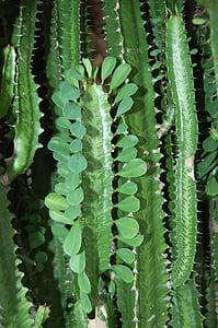 kaktusi, biljke, bodljikavo, priroda, biljka, kaktus, list