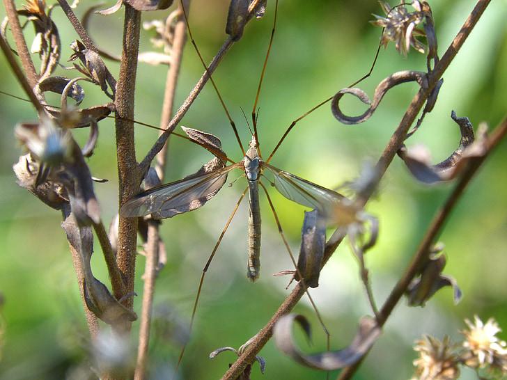 típula, mosquit, flors silvestres, tipúlidos, mosquit gran