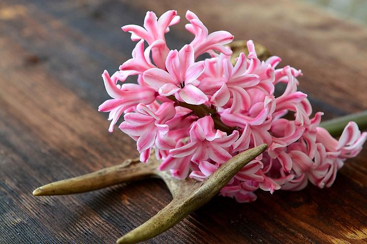 eceng gondok, bunga, bunga, merah muda, wangi, bunga musim semi, wangi bunga