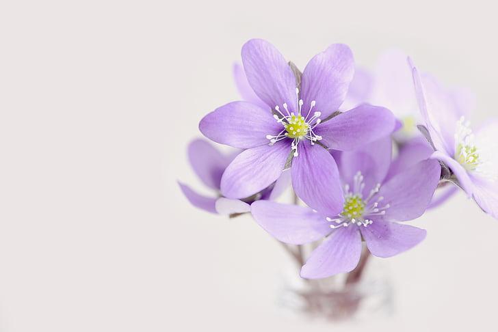цветя, търг, листенца, заболяване на черния дроб, лилаво, лилаво пролетно цвете, Пролетно цвете