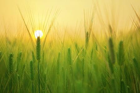농업, 보 리 필드, 아름 다운, 클로즈업, 시골, 자르기, 농장