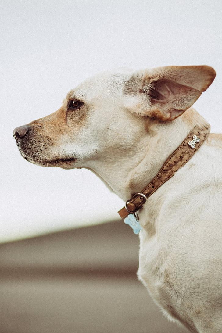 สีขาว, สุนัข, สัตว์, เพื่อน, สัตว์เลี้ยง, สัตว์เลี้ยง, สุนัข