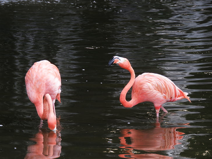 Flamingo, uccelli acquatici, uccelli esotici, fenicotteri, Fenicottero Rosa, uccelli, natura