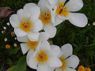 flors, blanc, bonica, planta, sentiments