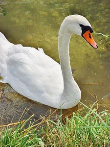 swan, water, animals, nature, pond, animal, good looking