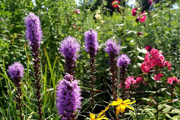 nagrada, cvet, Veronica, vijolična, veliko jetičnik, Veronica rastline, naturopathy