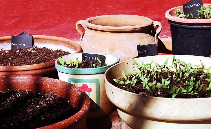 plantas aromáticas, cilantro, Chilis, primeros brotes, planta, naturaleza, brotes de la hoja de